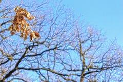 Filialer och sidor av eken på bakgrund för blå himmel Royaltyfri Fotografi