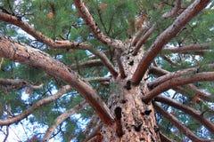 Filialer och stam av sequoian Gigantea Arkivbild