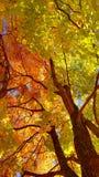 Filialer och stam med ljusa guling- och gräsplansidor av höstlönnträdet mot bakgrunden för blå himmel Botten beskådar fotografering för bildbyråer