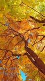 Filialer och stam med ljusa guling- och gräsplansidor av höstlönnträdet mot bakgrunden för blå himmel Botten beskådar arkivfoton