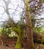 Filialer och trädnr Crookham Northumerland, England UK Arkivbild