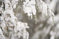filialer räknade snow Arkivbilder