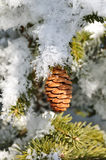 filialer räknade den spruce treen för frost Arkivfoton