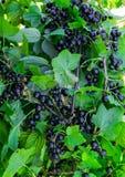 Filialer som beströs med bär för svart vinbär i trädgården arkivbilder