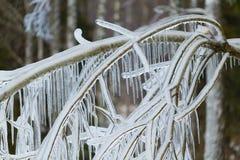 Filialer som frysas i vintern Royaltyfri Bild