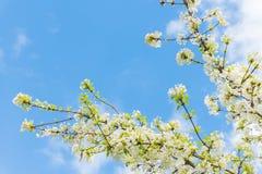 Filialer som täckas i klungor av den blommande vita viburnumen, blommar mot bakgrund för blå himmel i vår Royaltyfri Foto