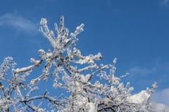 Filialer som täckas med is i solljus Arkivfoton