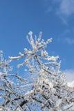 Filialer som täckas med is i solljus Arkivbilder