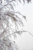 Filialer som täckas av rimfrost Royaltyfri Fotografi