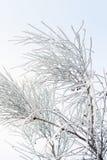 Filialer som täckas av rimfrost Arkivbilder
