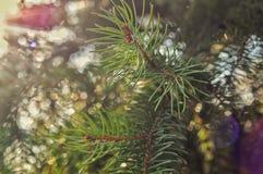 filialer spruce Royaltyfria Bilder
