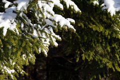 filialer spruce treen Arkivbild