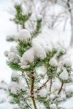 Filialerna av berget sörjer täckas med fluffig vit snö isolerat nytt vitt år för jul begrepp arkivfoton