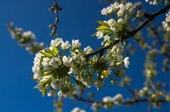 Filialerna av de körsbärsröda blomningarna mot himlen Royaltyfria Bilder