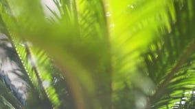 Filialerna av en palmträd som svänger i vinden arkivfilmer
