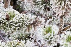 Filialerna av ett barrträd som täckas med rimfrost Royaltyfria Bilder