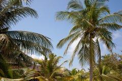 Filialerna av kokosnöten gömma i handflatan mot den blåa himlen Fotografering för Bildbyråer