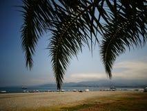Filialerna av kokosnöten gömma i handflatan mot det klart Arkivbild