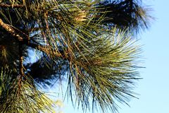 Filialerna av sörjer med långa visare på bakgrund för blå himmel Royaltyfri Fotografi