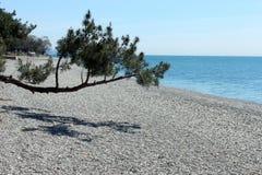 Filialerna av träden böjde över vid havsstranden Royaltyfria Foton