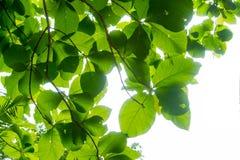 Filialerna och sidorna är gröna på en vit bakgrund Arkivfoto