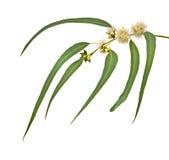 filialeucalyptus Royaltyfri Fotografi