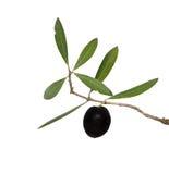 filialfruktolivgrön royaltyfri fotografi