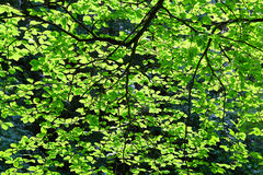 filialgreen låter vara saplings treen Royaltyfria Foton