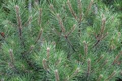 filialgreen sörjer treen royaltyfri bild