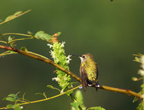 filialhummingbird Royaltyfria Foton