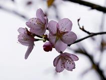 Filiali belle del fiore di ciliegia fotografia stock libera da diritti