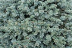Filiali blu-verde di un pelliccia-albero Fotografia Stock