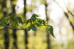 Filiali con i fogli verdi Fotografia Stock