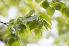 Filiali con i fogli verdi Fotografia Stock Libera da Diritti
