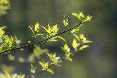 Filiali con i fogli verdi della sorgente Fotografia Stock