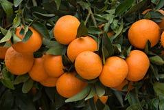 Filiali con i mandarini maturi Immagini Stock