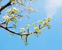 Filiali del fiore di ciliegia Fotografia Stock Libera da Diritti