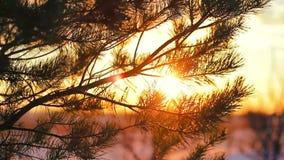 Filiali del pino al tramonto stock footage