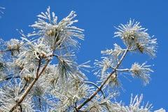 Filiali del pino con hoarfrost Fotografie Stock Libere da Diritti