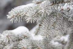 Filiali dell'abete coperte di neve Immagine Stock