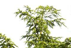 Filiali dell'albero Fotografia Stock