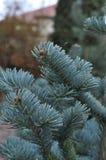 Filiali dell'albero di Natale fotografia stock