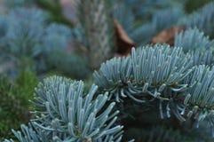 Filiali dell'albero di Natale Immagini Stock