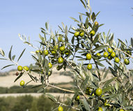Filiali dell'oliva Immagine Stock