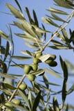 Filiali dell'oliva Fotografia Stock Libera da Diritti