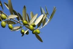 Filiali dell'oliva Immagine Stock Libera da Diritti