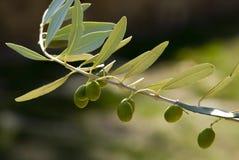 Filiali dell'oliva Fotografia Stock