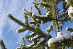 filiali dell'Pelliccia-albero Fotografie Stock