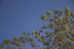 filiali dell'Pelliccia-albero Fotografie Stock Libere da Diritti