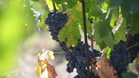 Filiali dell'uva matura stock footage